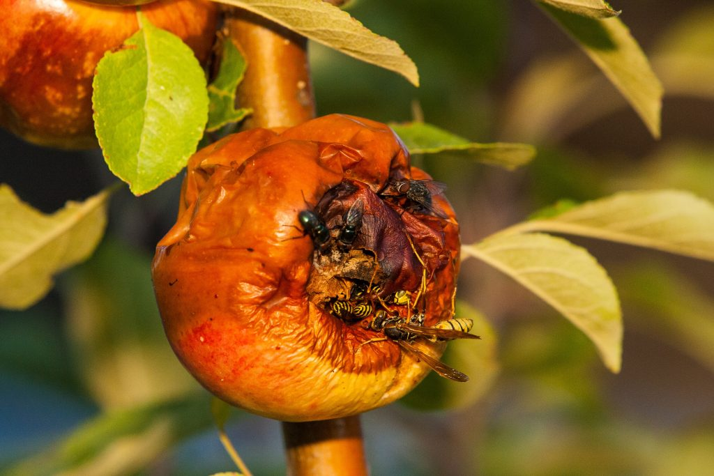 flies and wasps on rotting fruit