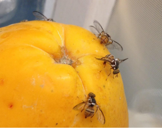 How to Get Rid of the Annoying Fruit Flies