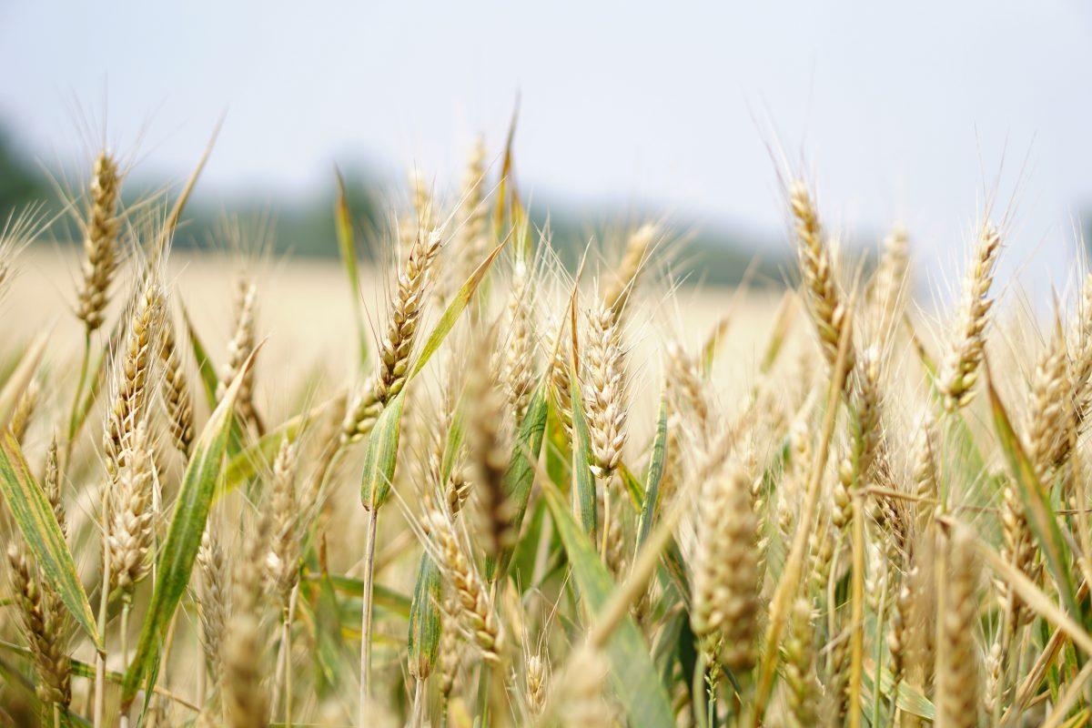Seitan Wheat