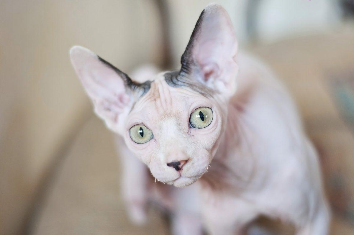 Sphynx Cat Skin