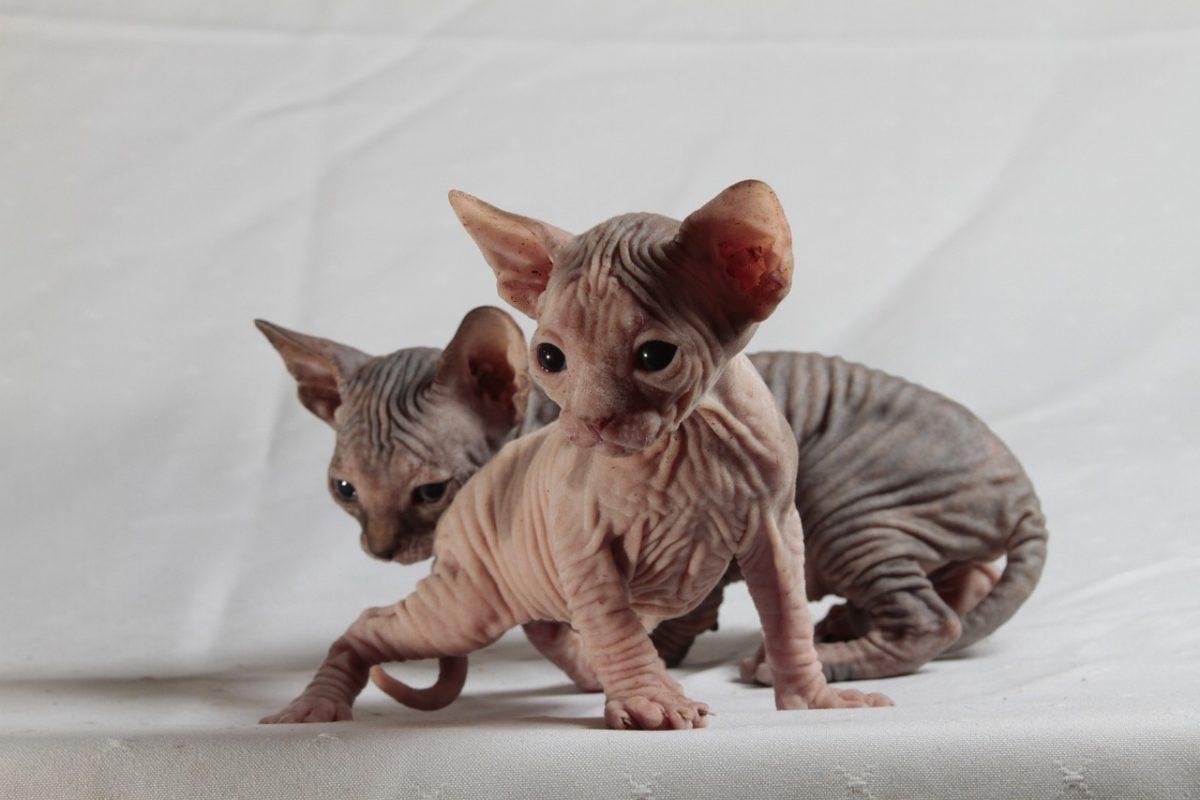 Hairless Sphynx Kittens