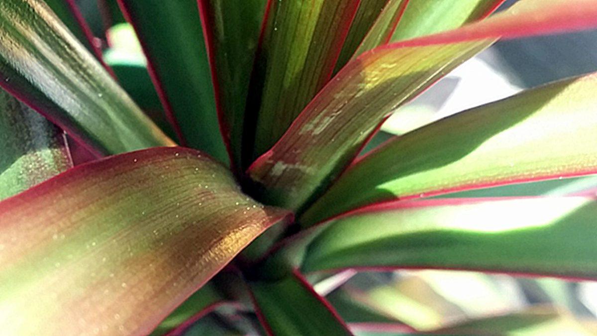 Dracaena Plant