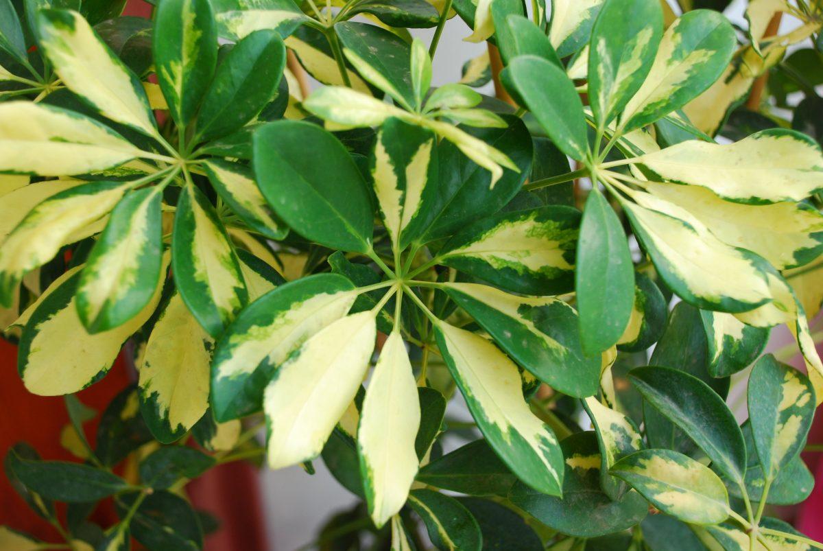 Umbrella Plant aka Schefflera
